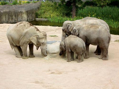 elephant elephant family baby elephant