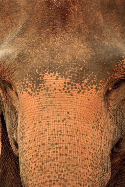 elephant sri lanka sri