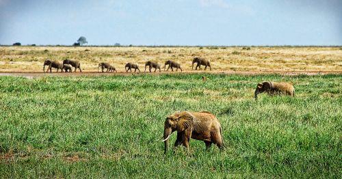 elephant herd of elephants savannah