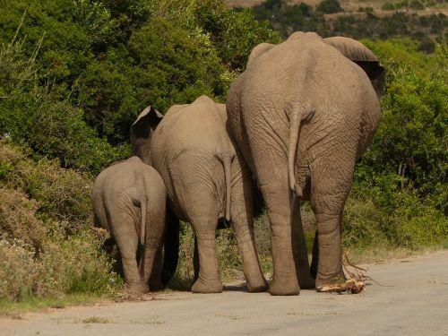elephant pachyderm safari