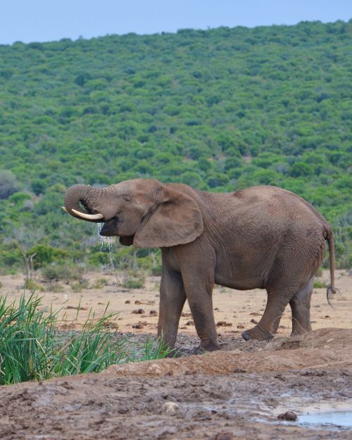 elephant south africa addo national park
