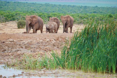 elephant south africa addo elephant park
