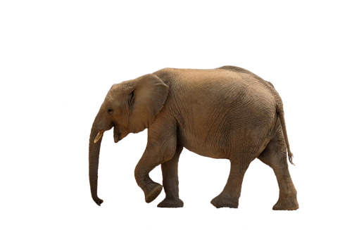 elephant baby elephant african bush elephant