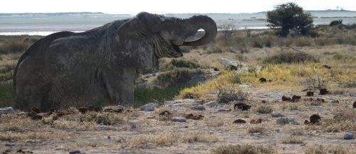 dramblys,etosha,Namibija