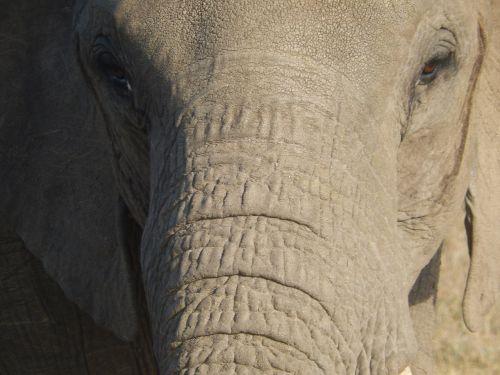 elephant head pachyderm