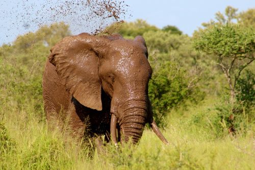 elephant wildlife mud bath