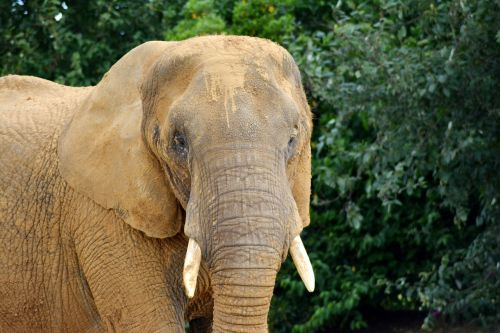 elephant proboscidea elephantidae