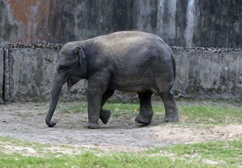 elephant asian indian