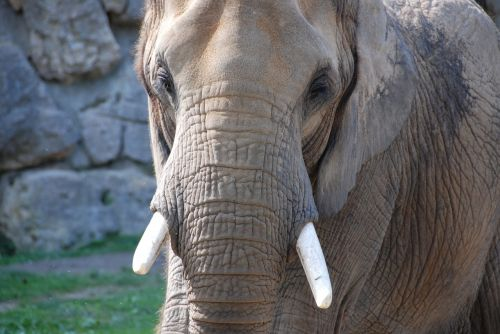 elephant tusks zoo