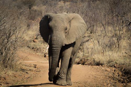 elephant africa wildlife