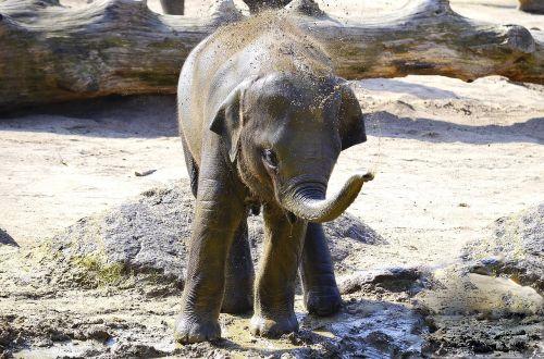 elephant indian elephant baby elephant