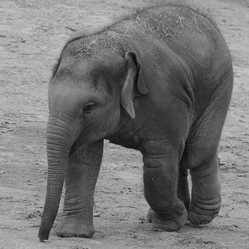 dramblys,gyvūnas,bagažinė,žinduolis,gamta