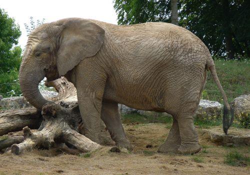 elephant pachyderm mammal