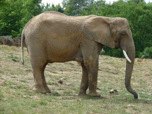 elephant pachyderm defence