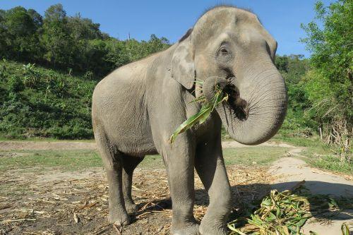 elephant thailand elephant eating