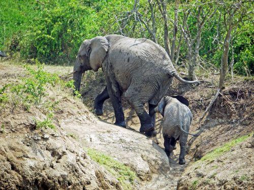 elephant uganda upward