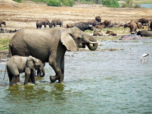 elephant uganda joy