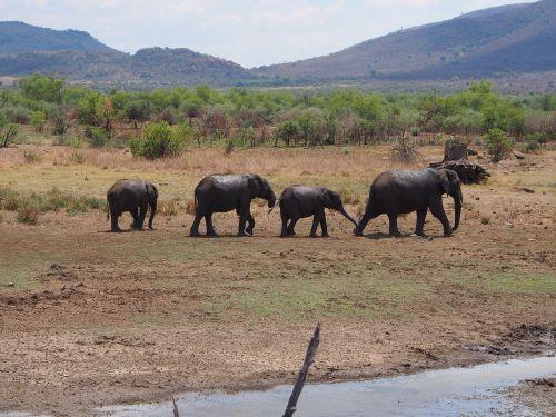 elephant flock baby elephant