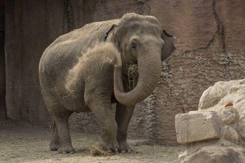 elephant animals proboscis