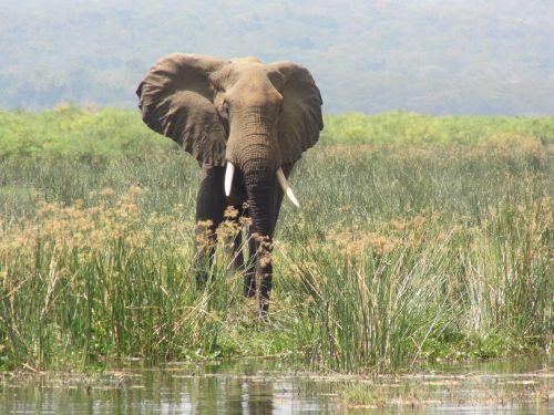 elephant murchison falls uganda