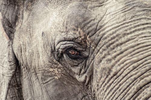 elephant animal grey