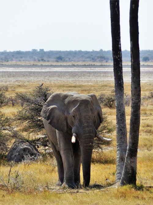 elephant grey animal