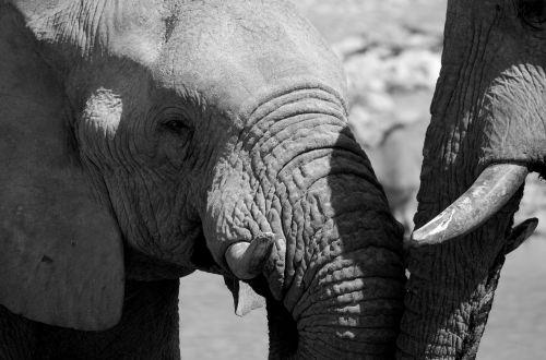 elephant black and white africa