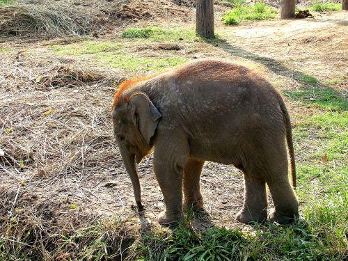 elephant small elephant nepal