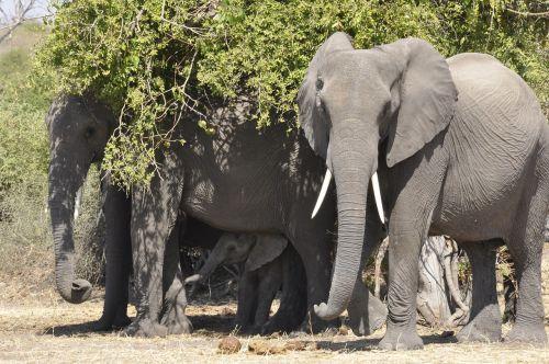 elephant flock botswana
