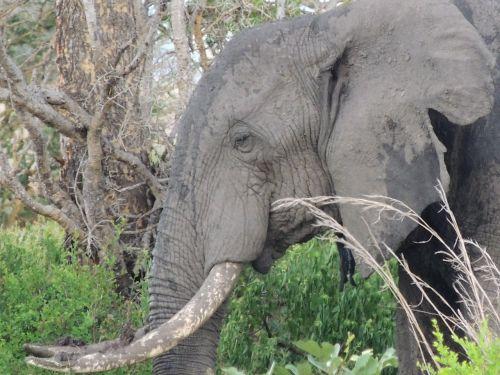 elephant elephant head the african elephant