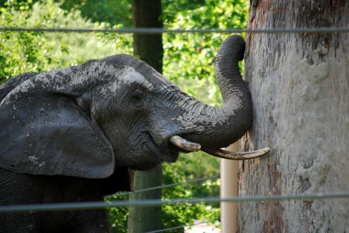 elephant determination obstacle