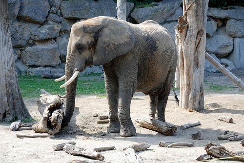 elephant zoo pachyderm