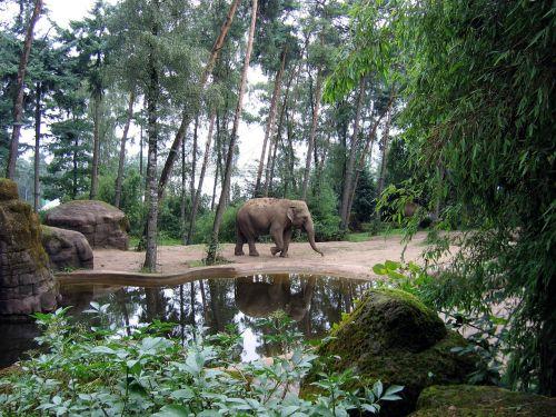 elephant african elephant african bush elephant