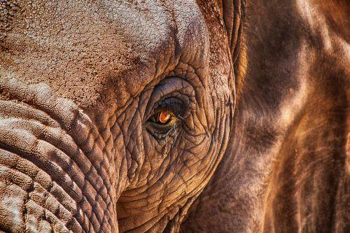 elephant eye close