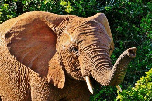 elephant animal animal portrait