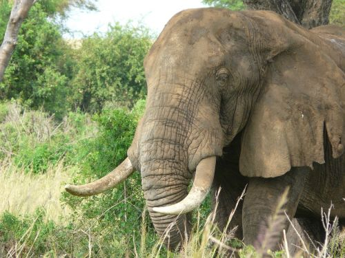 elephant african savanna