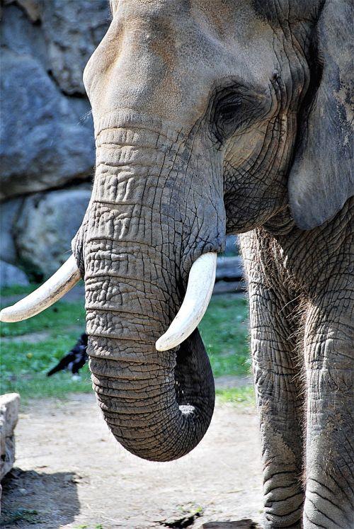elephant proboscis tusks
