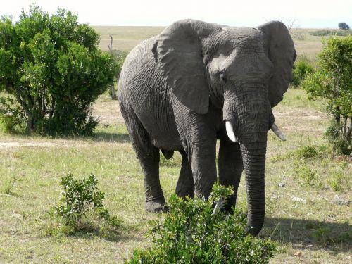 elephant masai mara