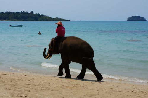 elephant sea ​​shore bathing beach