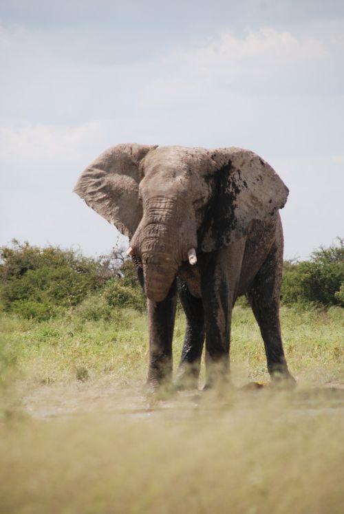 elephant etosha pan namibia