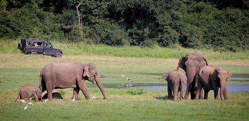 elephant safari indian elephant