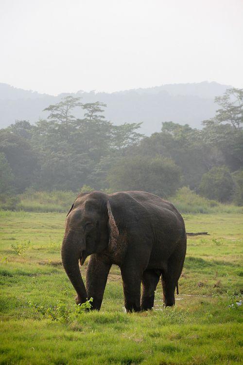 elephant indian elephant sri lanka
