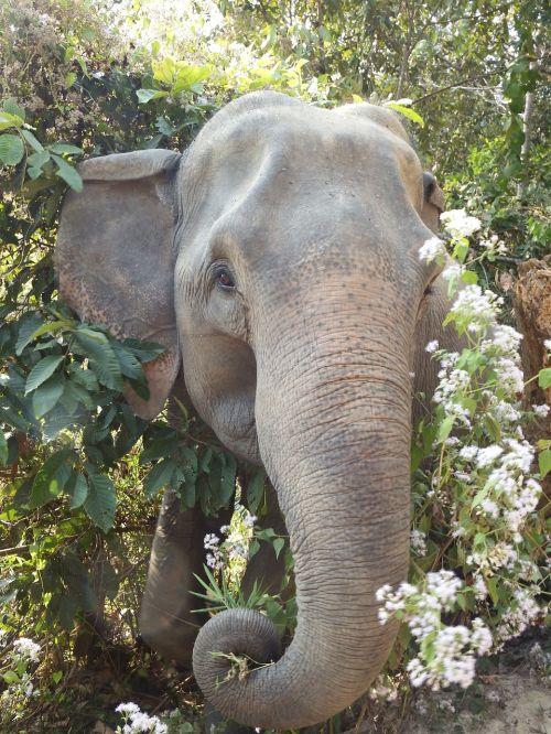 elephant thailand animals