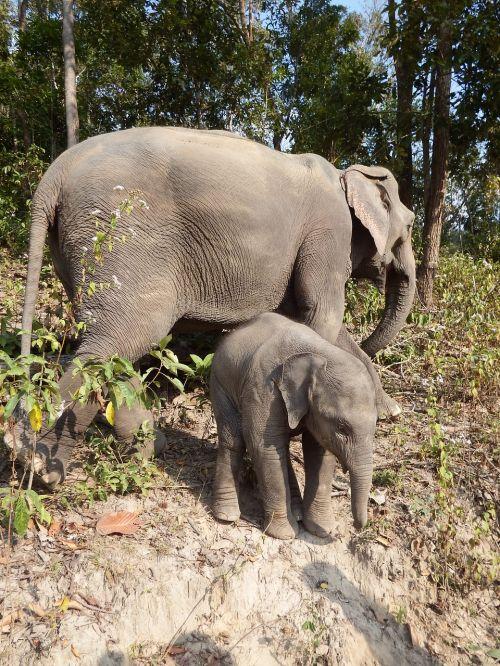 elephant baby elephant pachyderm