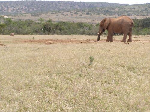 elephant drinking safari