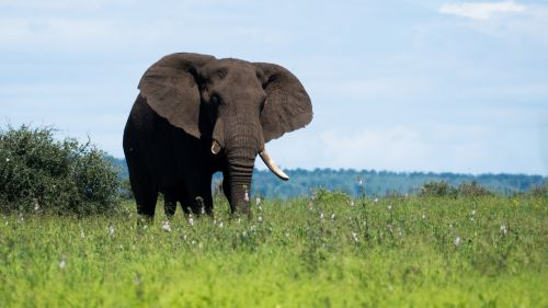 elephant south africa pride