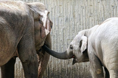 elephant young animal proboscis