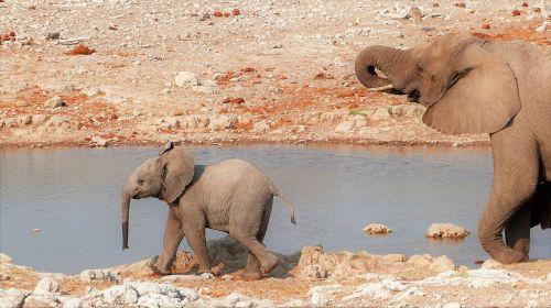 elephant baby namibia
