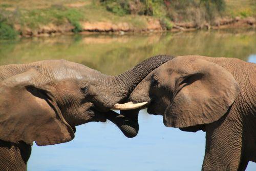 elephant african bush elephant national park