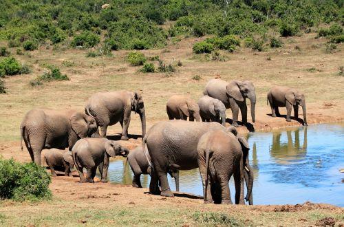 elephant african bush elephant wilderness